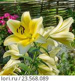 Купить «Сортовая желтая лилия (лат. Lilium) в саду», фото № 23568089, снято 30 июля 2016 г. (c) Елена Коромыслова / Фотобанк Лори