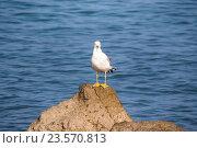 Чайка сидит на камне в воде. Стоковое фото, фотограф Koba Samurkasov / Фотобанк Лори