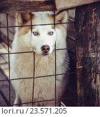 Купить «Собака породы хаски в клетке», фото № 23571205, снято 24 апреля 2019 г. (c) Елена Корнеева / Фотобанк Лори