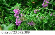 Купить «Pink phlox in rain in summer», видеоролик № 23572389, снято 31 июля 2016 г. (c) Володина Ольга / Фотобанк Лори