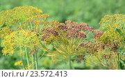 Umbrellas of fennel with seeds in August. Стоковое видео, видеограф Володина Ольга / Фотобанк Лори