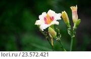 Купить «Yellow varietal lily in drops of water after rain», видеоролик № 23572421, снято 31 июля 2016 г. (c) Володина Ольга / Фотобанк Лори