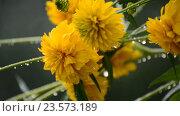 Купить «Yellow flowers in garden in the rain», видеоролик № 23573189, снято 31 июля 2016 г. (c) Володина Ольга / Фотобанк Лори