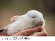 Белый крольчонок на руках. Стоковое фото, фотограф Галина Щурова / Фотобанк Лори