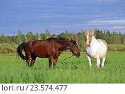 Гнедой и пегий конь пасутся. Стоковое фото, фотограф Галина Щурова / Фотобанк Лори