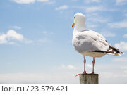 Купить «seagull over sea and blue sky background», фото № 23579421, снято 25 июня 2016 г. (c) Syda Productions / Фотобанк Лори
