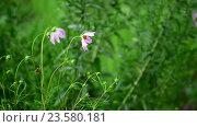 Купить «Two pink daisy soaked in rain», видеоролик № 23580181, снято 31 июля 2016 г. (c) Володина Ольга / Фотобанк Лори
