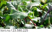 Купить «young leaves of beets in garden», видеоролик № 23580225, снято 29 июля 2016 г. (c) Володина Ольга / Фотобанк Лори