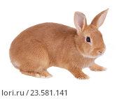 Купить «Карликовый кролик, изолировано на белом фоне», фото № 23581141, снято 9 апреля 2016 г. (c) Игорь Долгов / Фотобанк Лори