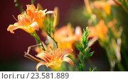Купить «Beautiful orange lily against backlight», видеоролик № 23581889, снято 5 июля 2016 г. (c) Володина Ольга / Фотобанк Лори