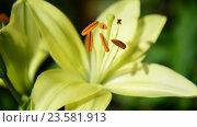 Купить «Yellow varietal large lily in flowerbed close up», видеоролик № 23581913, снято 5 июля 2016 г. (c) Володина Ольга / Фотобанк Лори