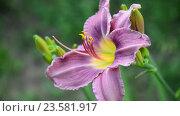 Купить «Beautiful Light purple daylily in garden», видеоролик № 23581917, снято 5 июля 2016 г. (c) Володина Ольга / Фотобанк Лори