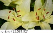 Купить «Yellow varietal large lily close up», видеоролик № 23581921, снято 7 июля 2016 г. (c) Володина Ольга / Фотобанк Лори