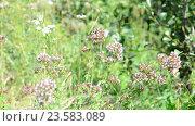 Купить «Oregano flowers and white butterflies close up», видеоролик № 23583089, снято 10 августа 2016 г. (c) Володина Ольга / Фотобанк Лори