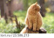 Рыжий кот греется на солнце. Стоковое фото, фотограф Хацаюк Павел Павлович / Фотобанк Лори