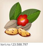 Бразильские орехи с цветами и листьями. Стоковая иллюстрация, иллюстратор Станислав Хомутовский / Фотобанк Лори