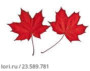 Ярко-красные кленовые листья на белом фоне (сканфото) Стоковое фото, фотограф Анатолий Платонов / Фотобанк Лори
