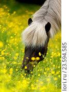 Купить «browsing Icelandic horse», фото № 23594585, снято 13 января 2016 г. (c) age Fotostock / Фотобанк Лори