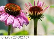 Купить «eastern purple coneflower», фото № 23602157, снято 9 июля 2020 г. (c) age Fotostock / Фотобанк Лори