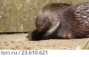 Купить «crested porcupine (Hystrix cristata)», видеоролик № 23610621, снято 29 июня 2016 г. (c) BestPhotoStudio / Фотобанк Лори