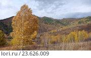 Купить «Autumn landscape with Birch trees in Altai mountains», видеоролик № 23626009, снято 28 сентября 2016 г. (c) Serg Zastavkin / Фотобанк Лори