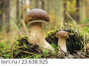 Купить «Боровики (Boletus edulis) на поляне в сосновом лесу», фото № 23638925, снято 30 сентября 2016 г. (c) Александр Романов / Фотобанк Лори