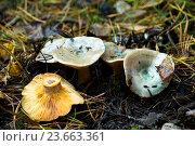 Купить «Грибы Мещеры - рыжик сосновый Lactarius deliciosus», фото № 23663361, снято 1 октября 2016 г. (c) Инна Грязнова / Фотобанк Лори