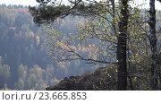 Купить «Birch leaves on Autumn forest background», видеоролик № 23665853, снято 1 октября 2016 г. (c) Serg Zastavkin / Фотобанк Лори