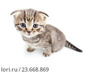 top view of cat kitten on white background. Стоковое фото, фотограф Оксана Кузьмина / Фотобанк Лори