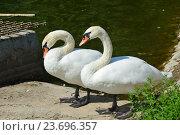 Купить «Два белых лебедя на берегу. Нижний Лианозовский пруд. Лианозовский парк в Москве», эксклюзивное фото № 23696357, снято 6 августа 2016 г. (c) lana1501 / Фотобанк Лори