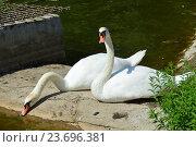 Купить «Два белых лебедя на Лианозовских прудах в Лианозовском парке в Москве», эксклюзивное фото № 23696381, снято 6 августа 2016 г. (c) lana1501 / Фотобанк Лори