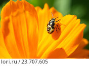 Купить «Нимфа клопа на цветке космоса», эксклюзивное фото № 23707605, снято 1 августа 2016 г. (c) Елена Коромыслова / Фотобанк Лори