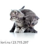 Купить «two funny cat kittens play together», фото № 23715297, снято 23 декабря 2012 г. (c) Оксана Кузьмина / Фотобанк Лори