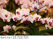 Экзотические орхидеи. Стоковое фото, фотограф Сергей Тихомиров / Фотобанк Лори