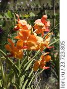 Оранжевые экзотические орхидеи. Стоковое фото, фотограф Сергей Тихомиров / Фотобанк Лори