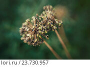 Семена лука созревшие в соцветии. Стоковое фото, фотограф Анастасия Долгова / Фотобанк Лори