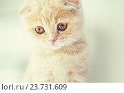 Купить «close up of scottish fold kitten», фото № 23731609, снято 19 июля 2015 г. (c) Syda Productions / Фотобанк Лори