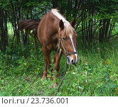 Купить «Лошадь пасётся в лесу», эксклюзивное фото № 23736001, снято 15 июля 2016 г. (c) Алёшина Оксана / Фотобанк Лори