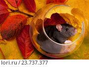 Крыса декоративная. Стоковое фото, фотограф Сергей Васильев / Фотобанк Лори