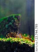 Цветущий мох на пригреве. Стоковое фото, фотограф Mike The / Фотобанк Лори