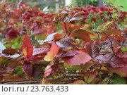Купить «Золотая осень,дикий виноград», фото № 23763433, снято 1 октября 2016 г. (c) Азаркевич Андрей / Фотобанк Лори