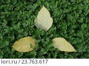 Жёлтые листы на фоне зелени. Стоковое фото, фотограф Юрий Елисеев / Фотобанк Лори