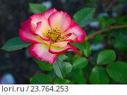 Купить «Роза флорибунда Окки ди Фата (Глаза Феи) (лат. Occhi di Fata)», эксклюзивное фото № 23764253, снято 1 июля 2015 г. (c) lana1501 / Фотобанк Лори