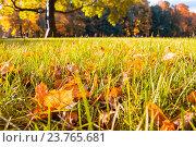 Купить «Утро в осеннем парке - опавшие кленовые листья на траве в солнечном свете», фото № 23765681, снято 3 октября 2016 г. (c) Зезелина Марина / Фотобанк Лори