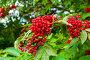 Красная бузина на ветке дерева - ягоды бузины крупным планом, фото № 23765953, снято 15 июля 2016 г. (c) Зезелина Марина / Фотобанк Лори