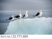 Купить «Чайки на айсберге», фото № 23771885, снято 29 июля 2016 г. (c) Vladimir / Фотобанк Лори
