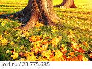 Купить «Желтые кленовые осенние листья у подножия деревьев в осеннем парке - осенний пейзаж в закатном свете», фото № 23775685, снято 9 октября 2016 г. (c) Зезелина Марина / Фотобанк Лори