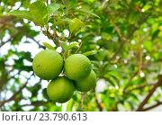 Купить «Зеленые мандарины растут на  ветке дерева в Турции», фото № 23790613, снято 15 сентября 2016 г. (c) Несинов Олег / Фотобанк Лори