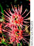 Купить «Red spider lily lycoris radiata cluster amaryllis higanbana flowera», фото № 23792273, снято 31 мая 2020 г. (c) age Fotostock / Фотобанк Лори