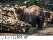 Купить «Дикий бурый медведь в естественной среде обитания ловит рыбу во время нереста лососевых», фото № 23801181, снято 2 сентября 2016 г. (c) Николай Винокуров / Фотобанк Лори